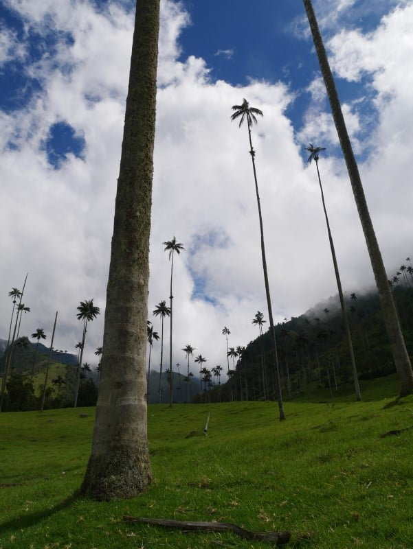 hoge palmbomen in Salento, Colombia